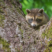 Single raccoon (Procyon lotor) kit peering down at the world below from tree perch. Photographed on nature preserve at Ohio Bird Sanctuary.