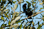 Brewer's Blackbird (Euphagus cyanocephalus) at Baskett Slough National Wildlife Refuge, Dallas, Oregon