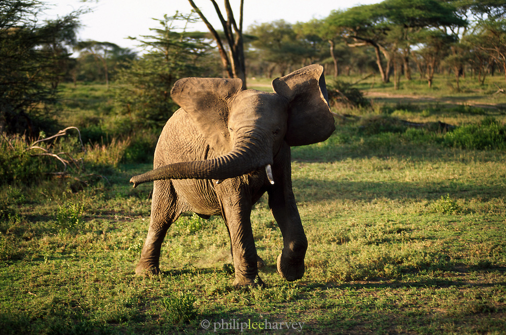 An angry African elephant displays defensive behaviour in Serengeti National Park, Tanzania
