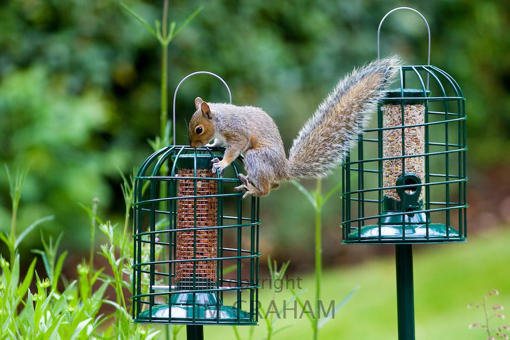Determined squirrel attempts to get at peanuts in squirrel-proof birdfeeder in town garden, London, England, United Kingdom