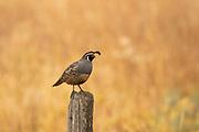 Male California quail standing on a fencepost.