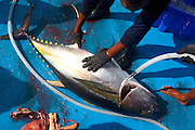 With blood and guts on the blue deck, a fisherman from the Maldives hoses down a yellow fin tuna on the floor of a dhoni boat in the Indian Ocean. After clubbing it death, he has removed its respiratory organs with sharp knives and washes it down with a hose. Next it will be plunged into ice containers to cool the flesh, reducing the risk of self-deteriorating flushed blood which renders it unfit for consumption under EU law (its live internal core temperature is 40 degrees centigrade). When as many fish have been caught (often weighing 50kg) before dark using hand and line method, rather than nets, the boat presses on to the processing factory at Himmafushi where they're filleted and boxed for export to Europe and in particular, for UK supermarkets like Sainsbury's.