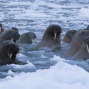 Walrus, (Odobenus rosmarus) In the waters off Baffin Island. Canada .