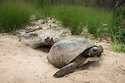 Gopher Tortoise (Gopherus polyphemus) at burrow entrance<br /> The Orianne Indigo Snake Preserve<br /> Telfair County. Georgia<br /> USA<br /> Threatened species in Georgia<br /> HABITAT & RANGE: Longleaf pine & oak forests & sandhills & areas of good ground cover. Southeast USA