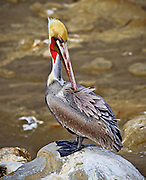 Bolsa Chica Wildlife Brown Pelican
