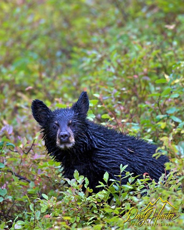 Soaking wet Black Bear cub in Grand Teton National Park