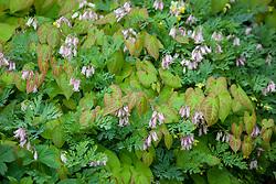 Dicentra 'Stuart Boothman' amongst epimedium foliage