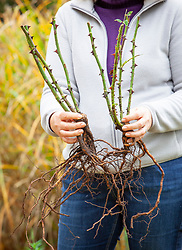 Holding bare root roses ready to plant out in autumn