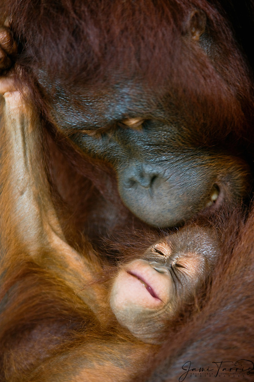 A close-up of a small infant orangutan face (Pongo pygmaeus) as he squeals under his mother's watchful eye, Borneo, Indonesia