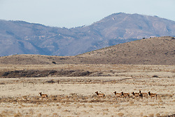 Small herd of cow elk near Grand View, Ladder Ranch, west of Truth or Consequences, New Mexico, USA.