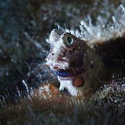 An inquisitive blenny (Salarias sp.) in very shallow water at Ngchuus Beach, Ngeruktabel Island, Palau.