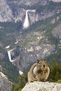 Western Gray Squirrel at Glacier Point with water falls in background.(Sciurus griseus).Yosemite National Park, California, USA