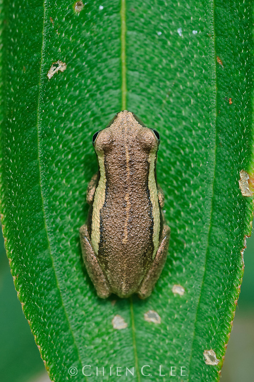 Tree Frog (Litoria rubella). Wasur National Park, Papua, Indonesia (New Guinea).