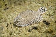 Hogchoker<br /> <br /> Isaac Szabo/Engbretson Underwater Photography