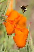 Bee flys amoung California Poppy flowers which it is pollenating.(Eschscholzia californica).Irvine,California