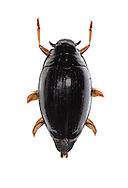Whirlygig Beetle - Gyrinus natator