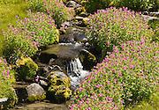Lewis' monkeyflower blooms on the Wonderland Trail to Summerland in Mount Rainier National Park, Washington, USA.