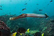 Trumpetfish (Aulostomus chinensis)<br /> Off of Wolf Island<br /> GALAPAGOS ISLANDS<br /> ECUADOR.  South America<br /> RANGE: Entire archipelago, Costa Rica, Panama and offshore islands, tropical Indo Pacific, Red Sea, Japan, Hawaii and Easter Island.