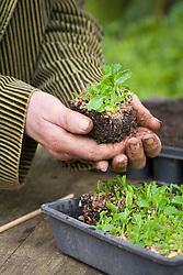Pricking out seedlings of Eryngium bourgati 'Purple Form'. Lifting out chunk of seedlings