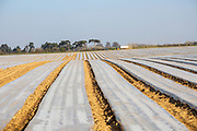 Polythene sheeting covering rows of potatoes planted in a field, Ramsholt, Suffolk, England, UK