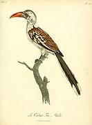 Calao Toc from the Book Histoire naturelle des oiseaux d'Afrique [Natural History of birds of Africa] Volume 5, by Le Vaillant, Francois, 1753-1824; Publish in Paris by Chez J.J. Fuchs, libraire 1799