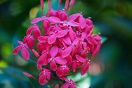 A red Ixora flower (Jungle Geranium) in the St. Rose Nursery, La Mode, St. George's, Grenada, West Indies, Caribbean