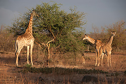 Giraffes (Giraffa camelopardalis), eating leaves from  tree, Kruger National Park, South Africa