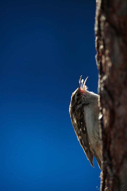WILD EURASIAN TREECREEPER; Certhia familiaris; KOROUMA; POSIO; FINLAND 2009; EUROPE; WINTER; BIRD PHOTOGRAPHY; PHOTO HIDE