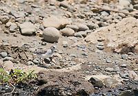 Least sandpiper, Calidris minutilla, on the shore of the Tarcoles River, Costa Rica