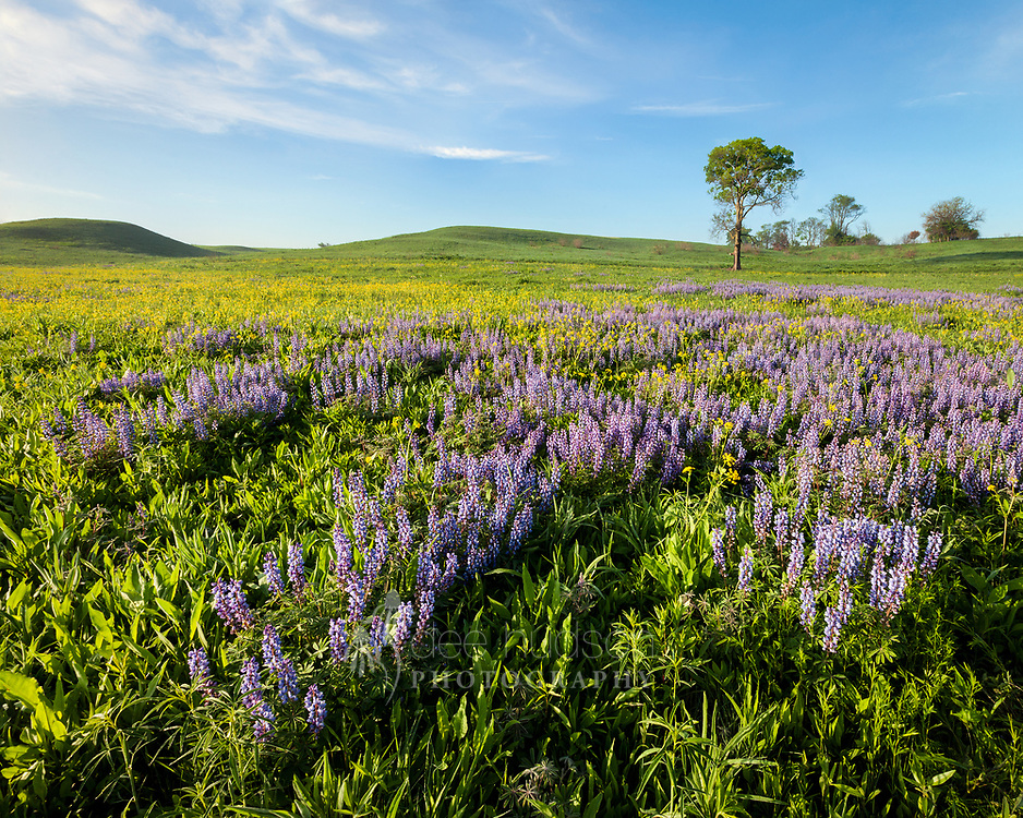 The purple wild lupines and heart-leaved zizia