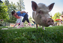 Paradox Delilah, front left, participates in a yoga session with pigs during a charity fundraiser at The Happy Herd Farm Sanctuary, in Aldergrove, BC, Canada on Sunday June 24, 2018. The not for profit sanctuary held three yoga classes with four pigs on Sunday to raise money to help cover veterinarian costs. The pigs were born at the sanctuary when one of two neglected pot-bellied pigs seized by the SPCA unexpectedly gave birth to a litter of five after being taken in. Photo by Darryl Dyck/CP/ABACAPRESS.COM
