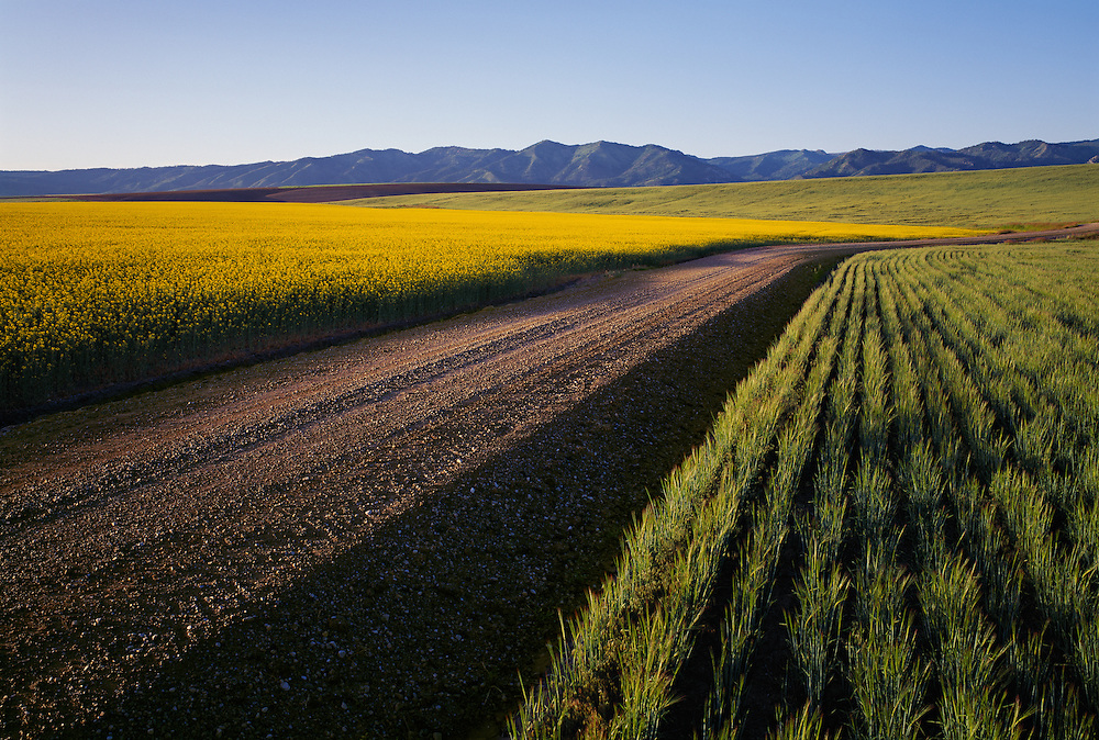 Canola and wheat field in Eastern Idaho just above the Snake River near Swan Valley.  Limited Edition of 75 includes all sizes.