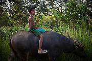 A child brings the Water Buffalo back home in the end of the day, near the City of Dawei, Burma.<br /> Note: These images are not distributed or sold in Portugal
