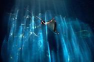 PRT, Portugal: Oceanario de Lisboa, das zweitgroesste seiner Art weltweit, Rochen, Reflexionen auf der Acrylscheibe, Lissabon, Lissabon | PRT, Portugal: Oceanario de Lisboa, the second largest world wide, ray, reflexion on acrylic pane, Lisbon, Lisbon |