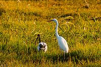 Great white egret, Kwando Concession, Linyanti Marshes, Botswana.