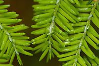 Close-up of waterdrops on hemlock needles.