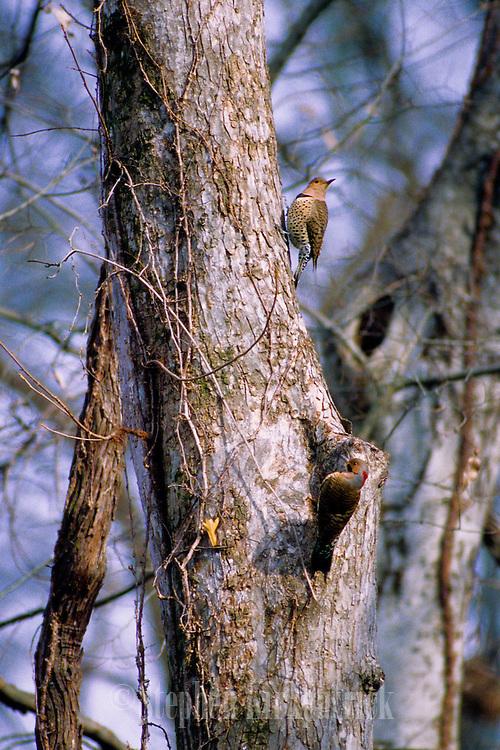 Flicker Pair in Tree - Mississippi