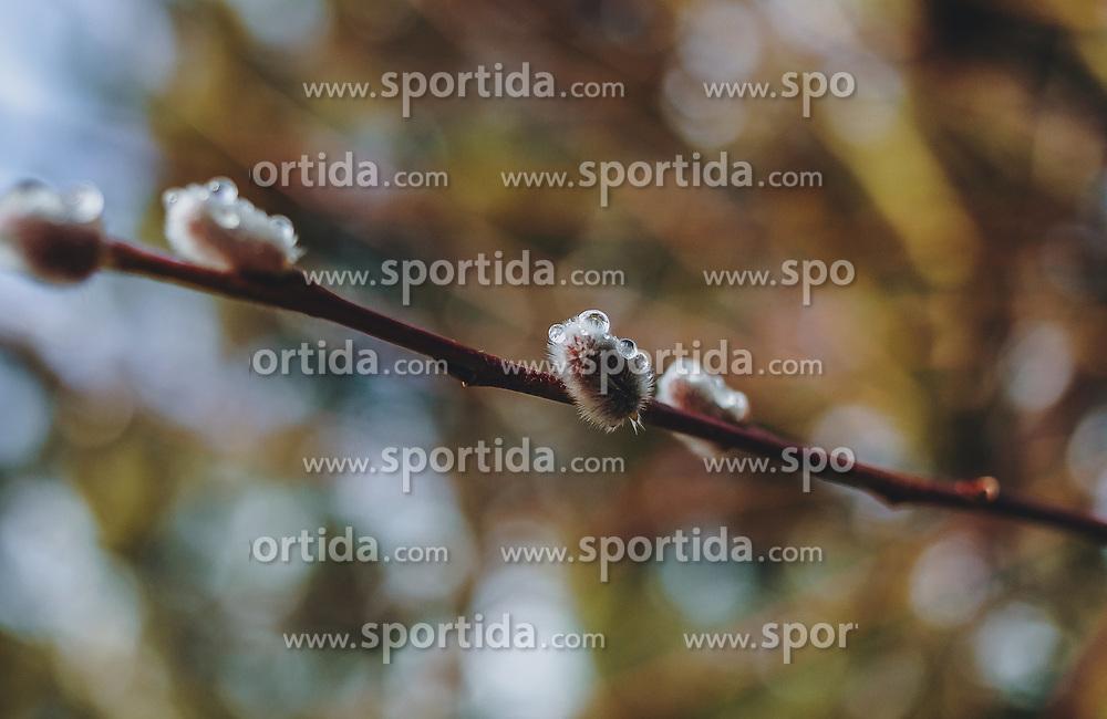 THEMENBILD - Tautropfen auf einem Palmkätzchenzweig (Weide), aufgenommen am 24. Februar 2020 in Kaprun, Oesterreich // Dewdrops on a kitten palm branch, in Kaprun, Austria on 2020/02/24. EXPA Pictures © 2020, PhotoCredit: EXPA/Stefanie Oberhauser