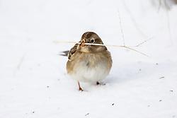 Sparrow looking for seeds on snowy grasses, Trinity River Audubon Center, Dallas, Texas, USA.