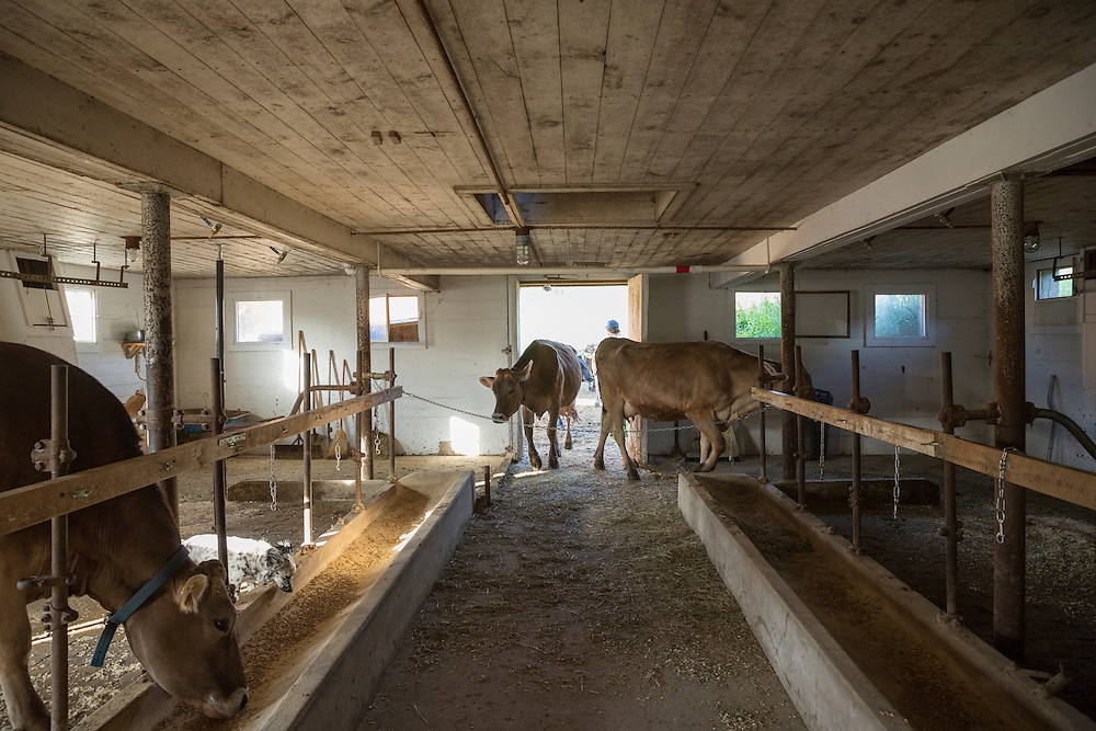 Cows coming in to the Milking parlor to be milked
