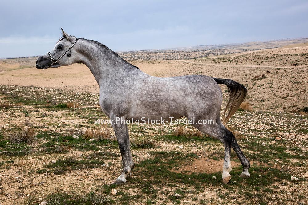 Arabian Mare