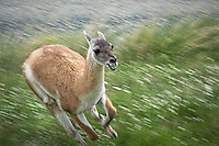 Guanaco Running. Entrance to Torres del Paine National Park, Chilie. Image taken with a D3s and 70-300 mm VR lens.