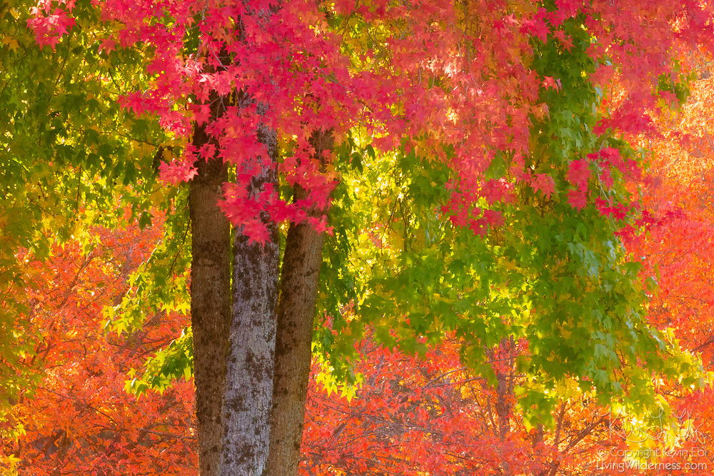 Several maple trees, each displaying a different fall color, grow together near North Creek in Bothell, Washington.