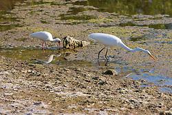 Great Egret & White Ibis