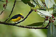Thick-billed Euphonia (Euphonia laniirostris) MALE <br /> Mindo<br /> Cloud Forest<br /> West slope of Andes<br /> ECUADOR.  South America<br /> HABITAT & RANGE: Subtropical or tropical dry forests, moist lowland forests and heavily degraded former forest. Bolivia, Brazil, Colombia, Ecuador, Panama, Peru & Venezuela