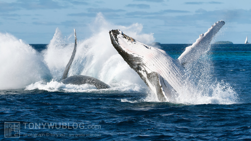 Two of three humpback whales (Megaptera novaeangliae) that breached in tandem for an extended period of time. Photographed in Vava'u, Kingdom of Tonga.