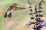Broad-tailed Hummingbird, Selasphorus platycercus, Male flying at Salvia, Salvia guaranitica Birds animals wildlife birds hummingbird Sunset New Mexico United States flight high speed photographic technique