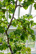 Inside one of the restored glass houses with a Vitis vinifera - Grape Vine. There were originally 21 glasshouses (5 and 6 on the map) in the Flower Garden area of The Victorian Walled Garden at Kylemore Abbey. Only plants and flowers that were introduced to Ireland before 1901 are used in the gardens. The 6 acre garden is to the west of the Abbey originally known as a castle when it was built by Mitchell and Margaret Henry in the 1850's. The garden is on a south slope at the foot of Duchruach Mountain and facing Diamond Hill. It was chosen as the warmest and brightest spot on the estate with a mountain stream providing water. It is now a Benedictine community; open seven days a week all year round. The Abbey is located in Connemara in the west of Ireland. August