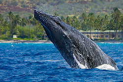 humpback whale, Megaptera novaeangliae, head-lunging, Big Island, Hawaii, USA, Pacific Ocean Ocea