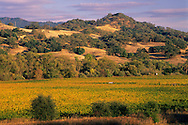 Sunset light on vineyards , oak trees, and hills, between Hopland and Ukiah, Mendocino County, California